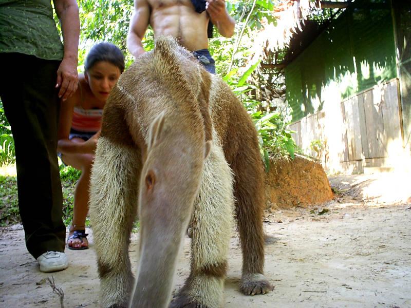 Ameisenbär gerettet durch Pilpintuwasi Reha-Zentrum