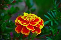 Flor bicolor