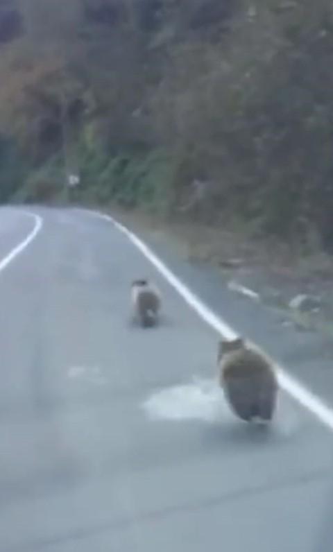 Kış uykusuna yatmayan yavru ayılar karayolunda böyle görüntülendi