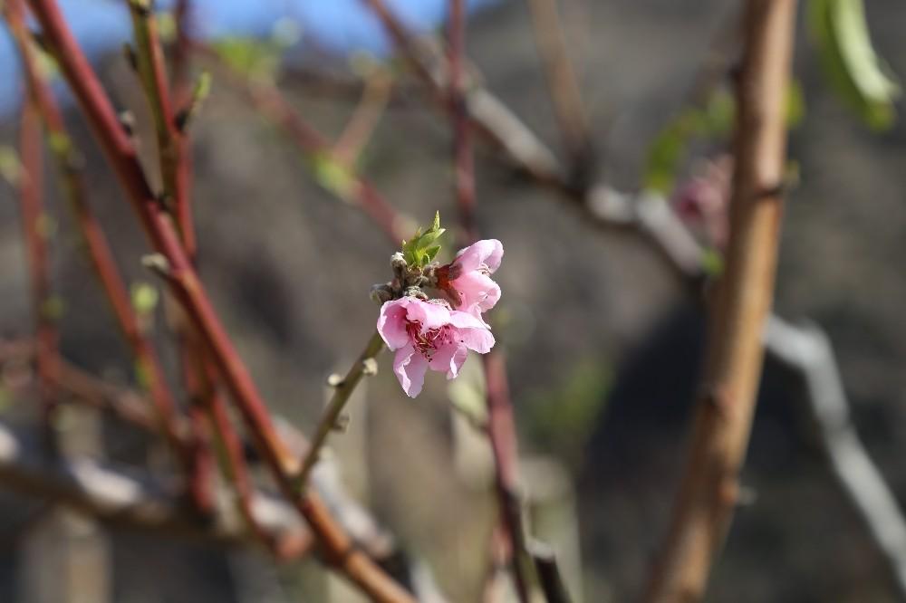 Artvin'de baharın habercisi çiçekler erken açtı