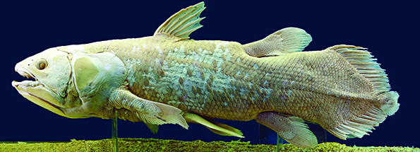 "Only eight species of lobefish remain in the sea, including the ""living fossil"" fish, the coelacanth. During the Devonian, the ray-finned and the lobe finned bony fish chose separate destinies, with the ray finned remaining in the seas where they are today, some 30,000 species strong. The lobefish used their fleshy fins to walk on land. Fossils from the era when fish began to walk on land are as likely to be found in WNY as anywhere else on earth."