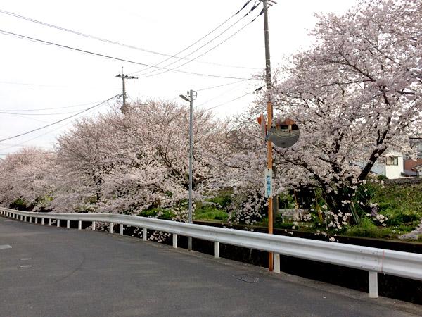西浦上駅の桜2