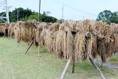 古代米の稲木干し