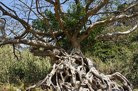 亜熱帯樹「アコウ」