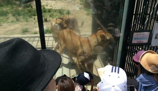 これはスゴイ!安佐動物公園 ライオンが近すぎてホントに驚いた!