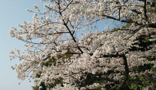 広島の花見はどこで?地元民おすすめ&穴場を実際に歩いて写真解説(2019年版)