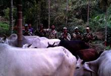 Photo of BSF Seized Cattles during Anti Smuggling Drive