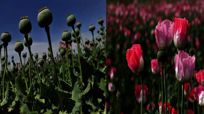 The Why and Where of Poppy Cultivation in Arunachal Pradesh