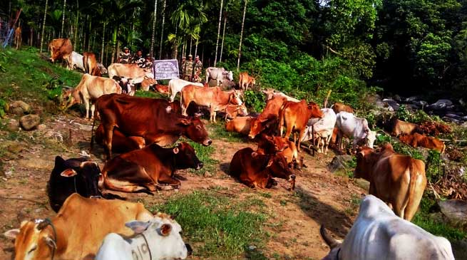 BSF Seizes Huge Herd of Cattle at Bangladesh Border