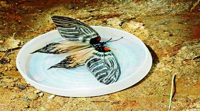 New species of butterfly named after Apatani tribe of Arunachal
