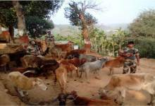 Photo of BSF Seizes Huge numbers Cattle in India-Bangladesh Border