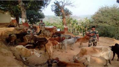BSF Seizes Huge numbers Cattle in India-Bangladesh Border