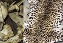 Photo of Assam Police arrested 4 Arunachal govt employees with leopard skin, bones