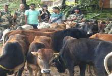 BSF Seizes 144 Cattle on Indo-Bangladesh Border