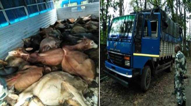 BSF Seizes Cattle Laden Truck at Bangladesh Border