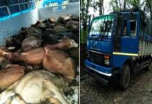 BSF Seizes Cattle Laden Truck at Bangladesh Border