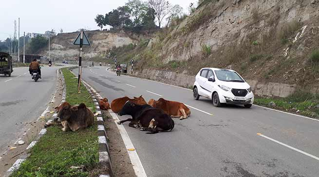 Arunachal : Roaming domestic animals on roads cause of increasing accident
