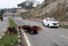 Photo of Arunachal : Roaming domestic animals on roads cause of increasing accident