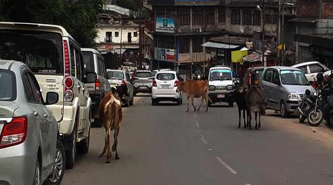 Arunachal : Stray Animals rules the Road of Itanagar and Naharlagun