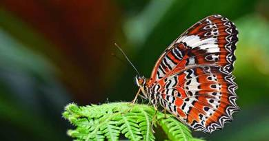 171 butterfly species recorded in Arunachal's Lower Subansiri district,