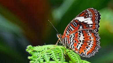 Photo of 5th Ziro butterfly meet: 171 species recorded