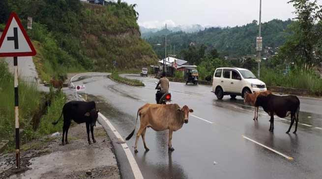 Itanagar: Stray cattle continue to pose threat to motorists in Capital complex