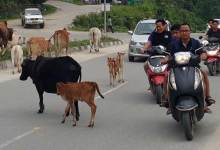 Photo of Itanagar: Clear stray animals from capital roads- DC directs IMC