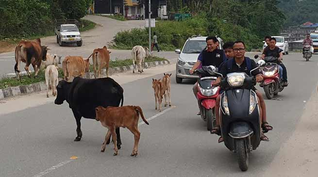 Itanagar: Stray animals will rule the capital road soon-commuters