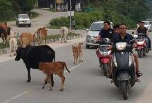 Photo of Itanagar: Stray animals will rule the capital road soon-commuters