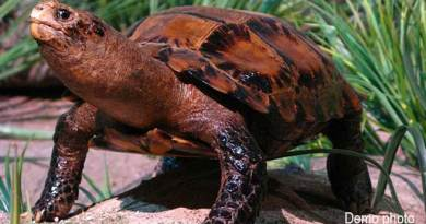 Itanagar: 'Impressed Tortoise' sighted in Banderdewa