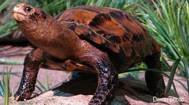 Itanagar: 'Impressed Tortoise' sighted in Banderdewa