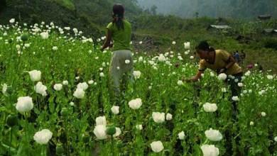 Photo of Poppy cultivation spikes in Arunachal Pradesh, govt is in action