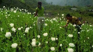 Photo of Poppy cultivation spikes in Arunachal Pradesh, govtis in action