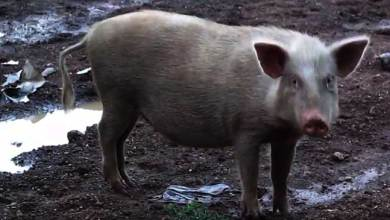 Photo of Itanagar: Pigs' quarantine ordered, selling pork meat banned