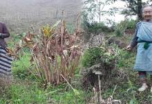 Photo of Arunachal: Epidemic like situation damaged Cardamom crops, farmers crying for Govt help