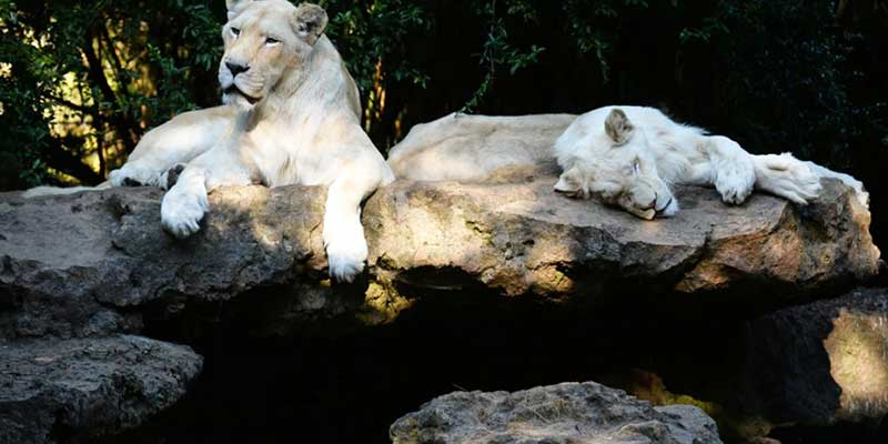 Four Lions test positive for COVID-19 at a zoo in Spain