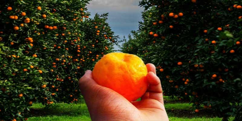 Arunachal: Orange gardens in Dambuk attracting tourists