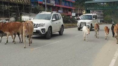 Itanagar: Stray animals continue to rule city roads