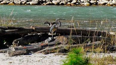 Arunachal: Rare white-bellied heron spotted at Walong