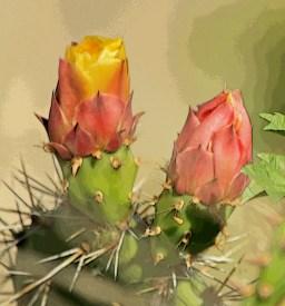 desertroses