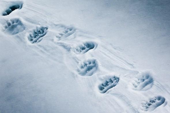 Polar bear prints
