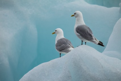 Black-legged kittiwakes. Photo: colourbox.com
