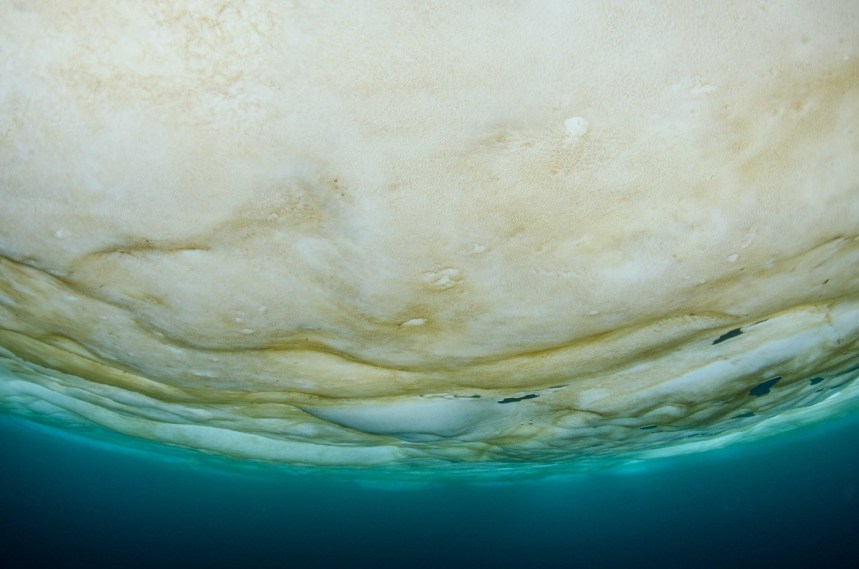 Brown layer of ice algae below the sea ice. Photo: Peter Leopold