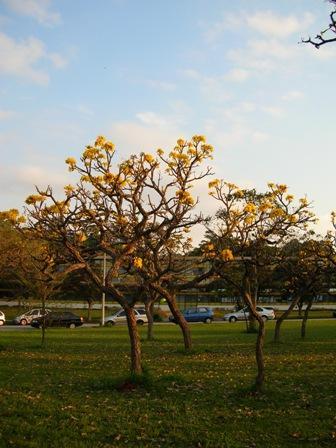 grupo de ipês-amarelos do cerrado (Tabebuia aurea)