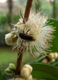 abelha nativa polinizando a flor da cabeludinha