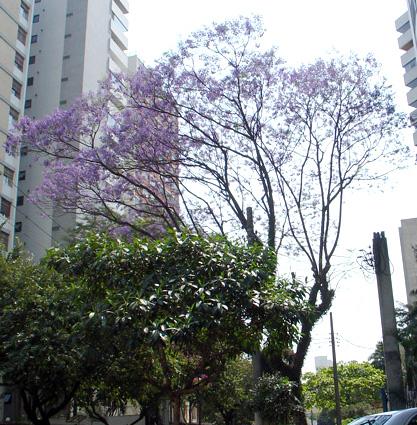 jacarandá paraguaçu