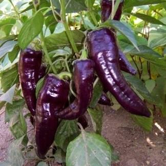 Marconi Purple