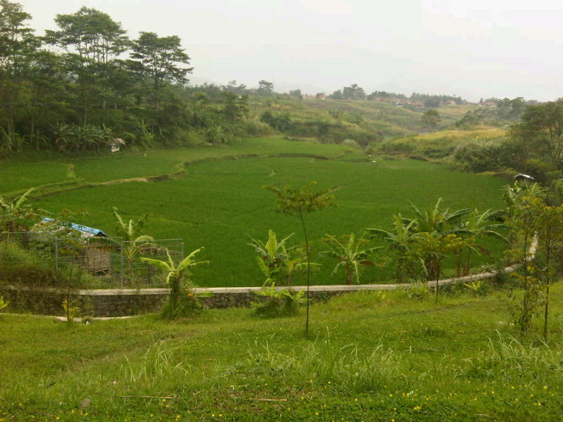 Green padi fields