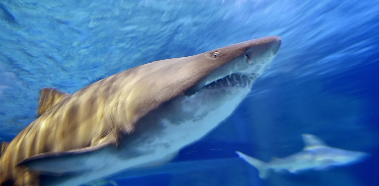 Photo of Mediterranean sharks threat 'disappearing' – ARYNEWS