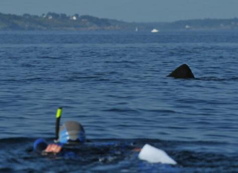 aileron-requin-pelerin-APECS
